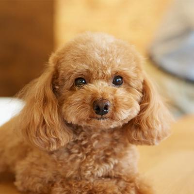 キューピッド犬の「アル」
